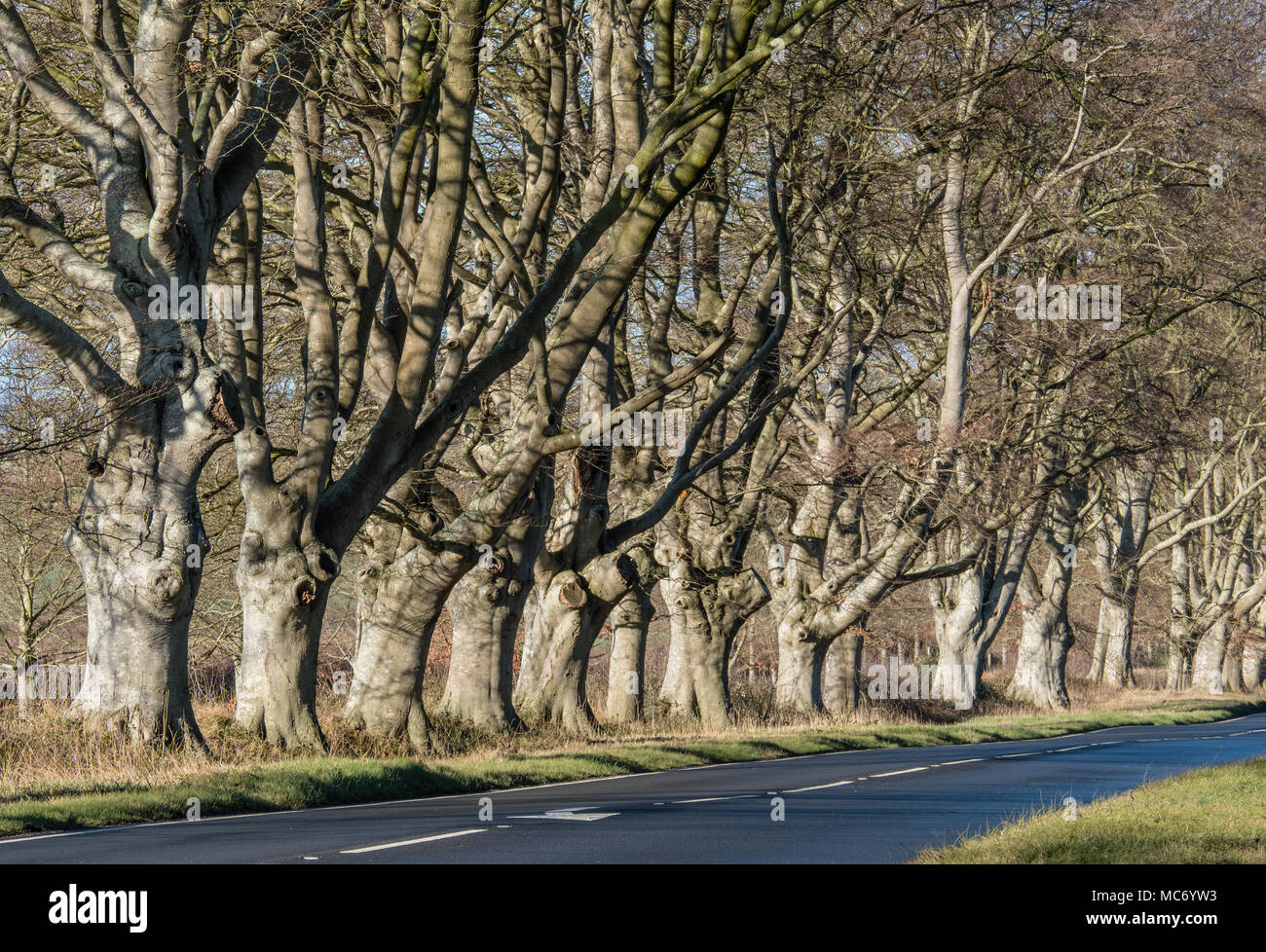 A road lined with Beech trees in Winter with bare trunks and branches in Dorset, UK - Stock Image
