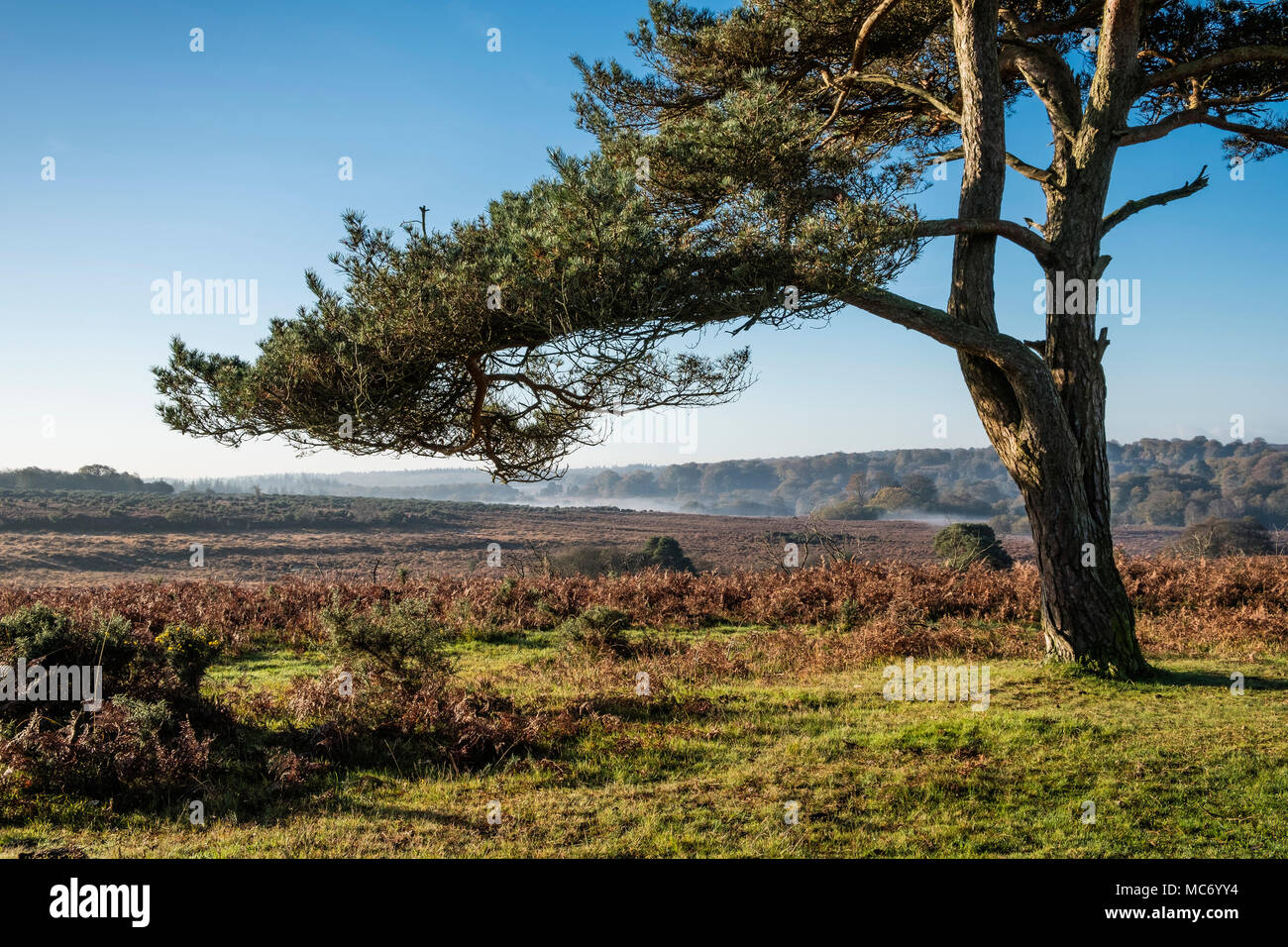 A scenic landscape in The New Forest with a lone Pine tree in the foreground on heathland in Hampshire, UK. - Stock Image