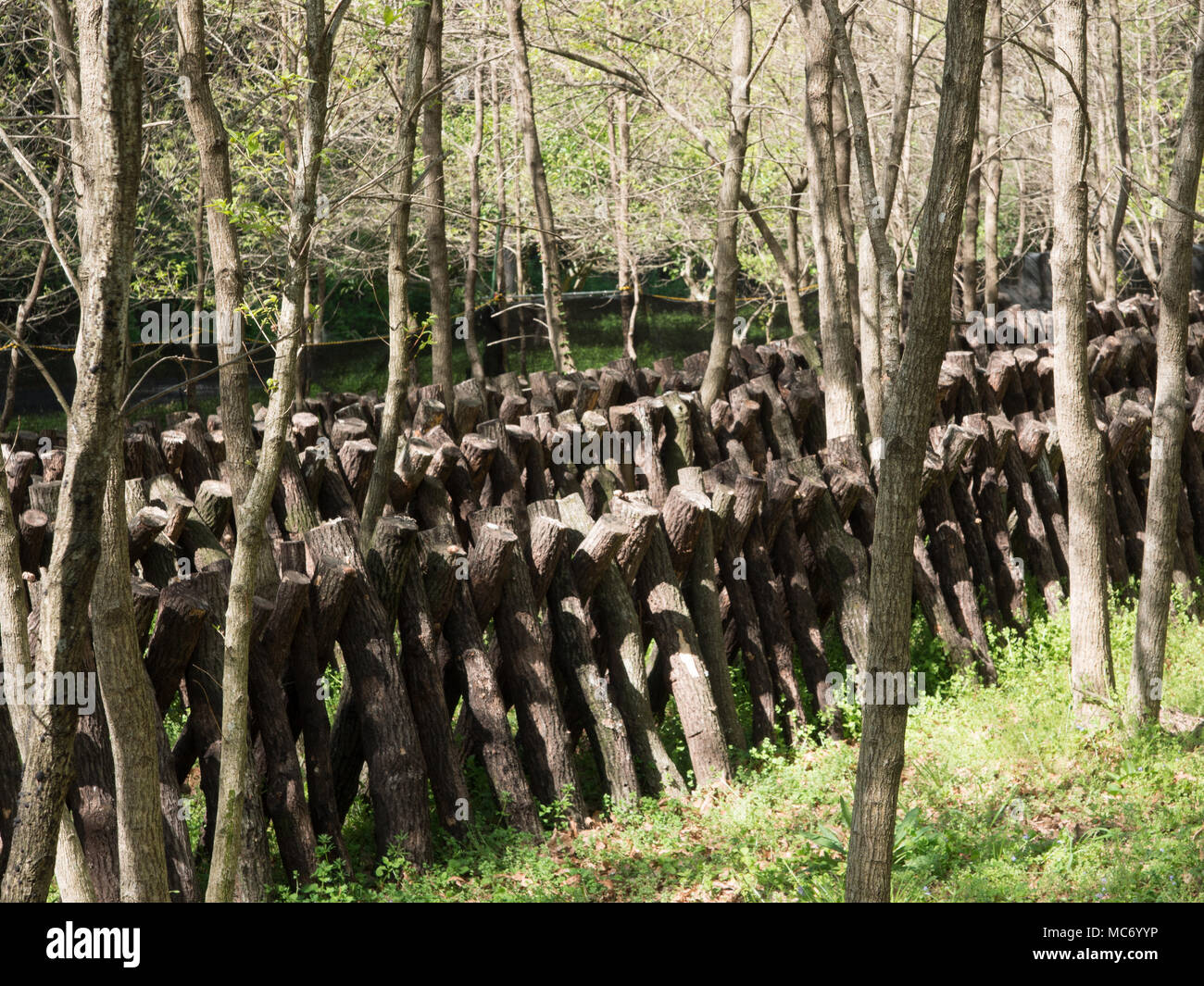 Shiitake mushroom cultivation on sawtooth oak logs, Kunisaki, Oita, Kyushu, Japan - Stock Image