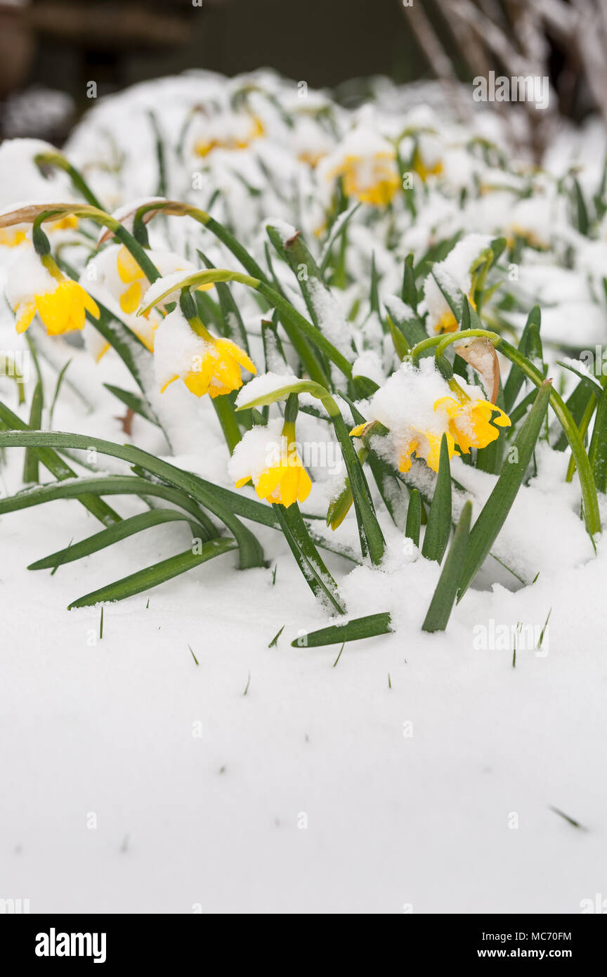 Mini Beast From The East Coated Spring Flowering Daffodils Which Are
