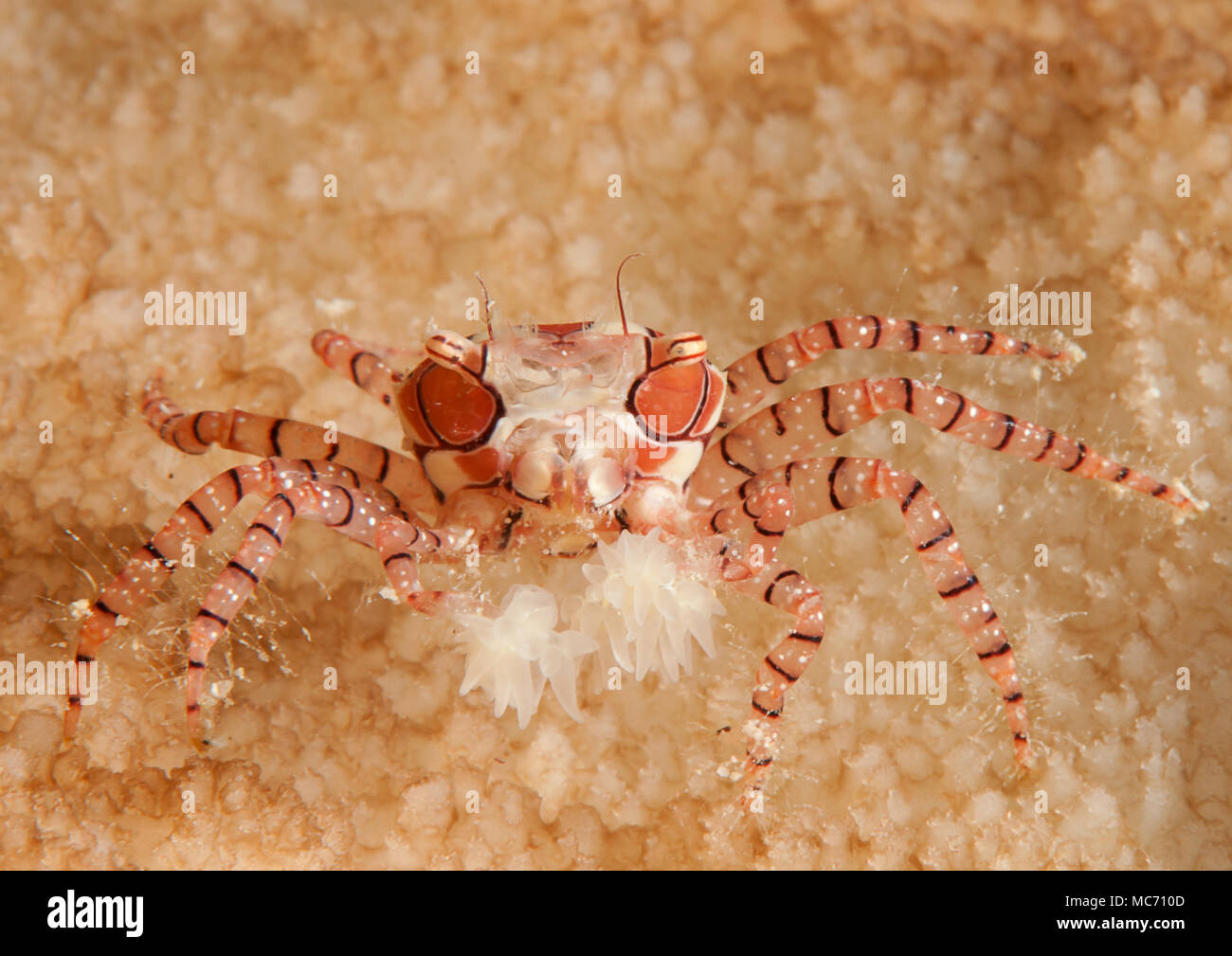 Mosaic boxer crab ( Lybia tesselata ) resting on coral reef of Bali, Indonesia - Stock Image