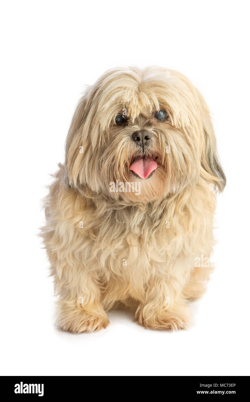 Lhassa Apso that pulls the tongue - Stock Image