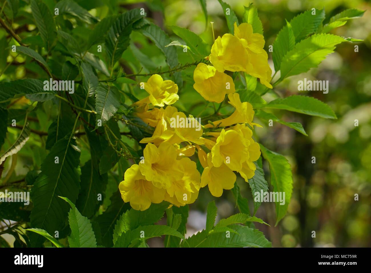 Yellow Trumpet Bush Flower Tecoma Stans Gold Star Bignoniaceae