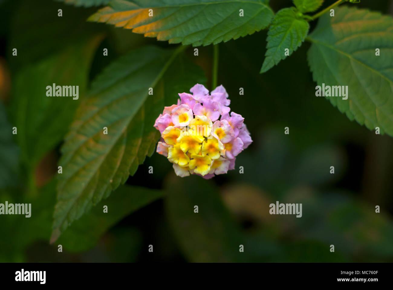 beautiful yellow-pink inflorescence of a tropical flower Lantana camara (big-sage,  wild-sage, red-sage, white-sage or tickberry) Stock Photo