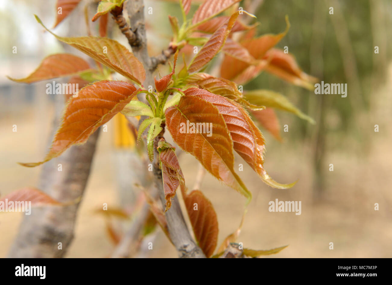 Leaves emerge from a branch tip on a small ornamental tree in Beijing, China - Stock Image