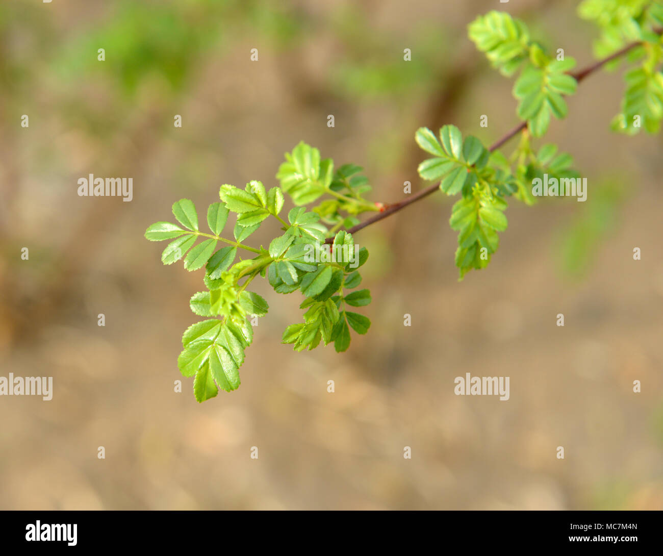 Leaves emerge from a branch tip on a shrub in Beijing, China - Stock Image