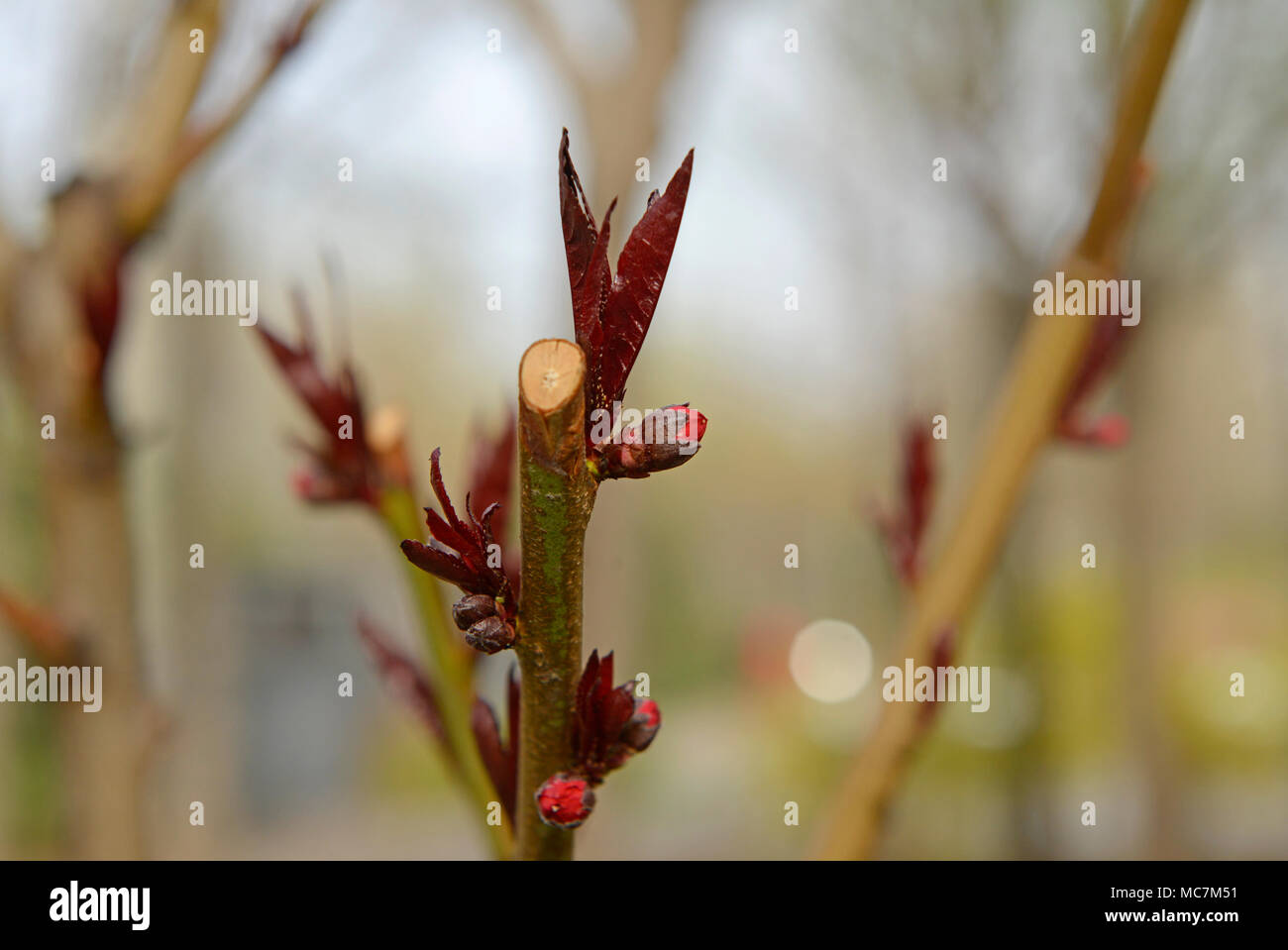 Leaves and flowers emerge from a branch tip on a shrub in Beijing, China - Stock Image