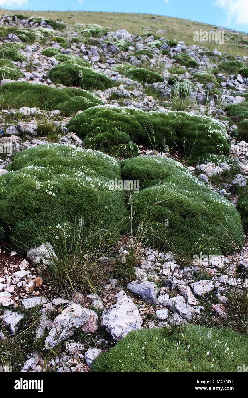 Turfs of Astragalus angustifolius - Stock Image