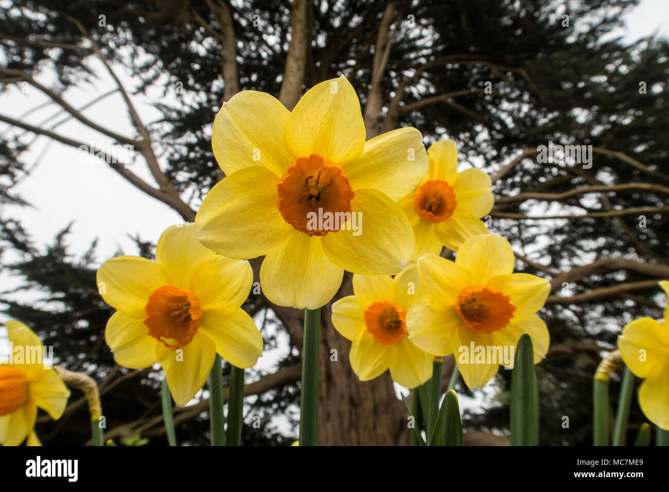 Trumpet daffodil hero narcissus yellow with orange centre spring trumpet daffodil hero narcissus yellow with orange centre spring flowers growing under a monterey cyprus tree mightylinksfo