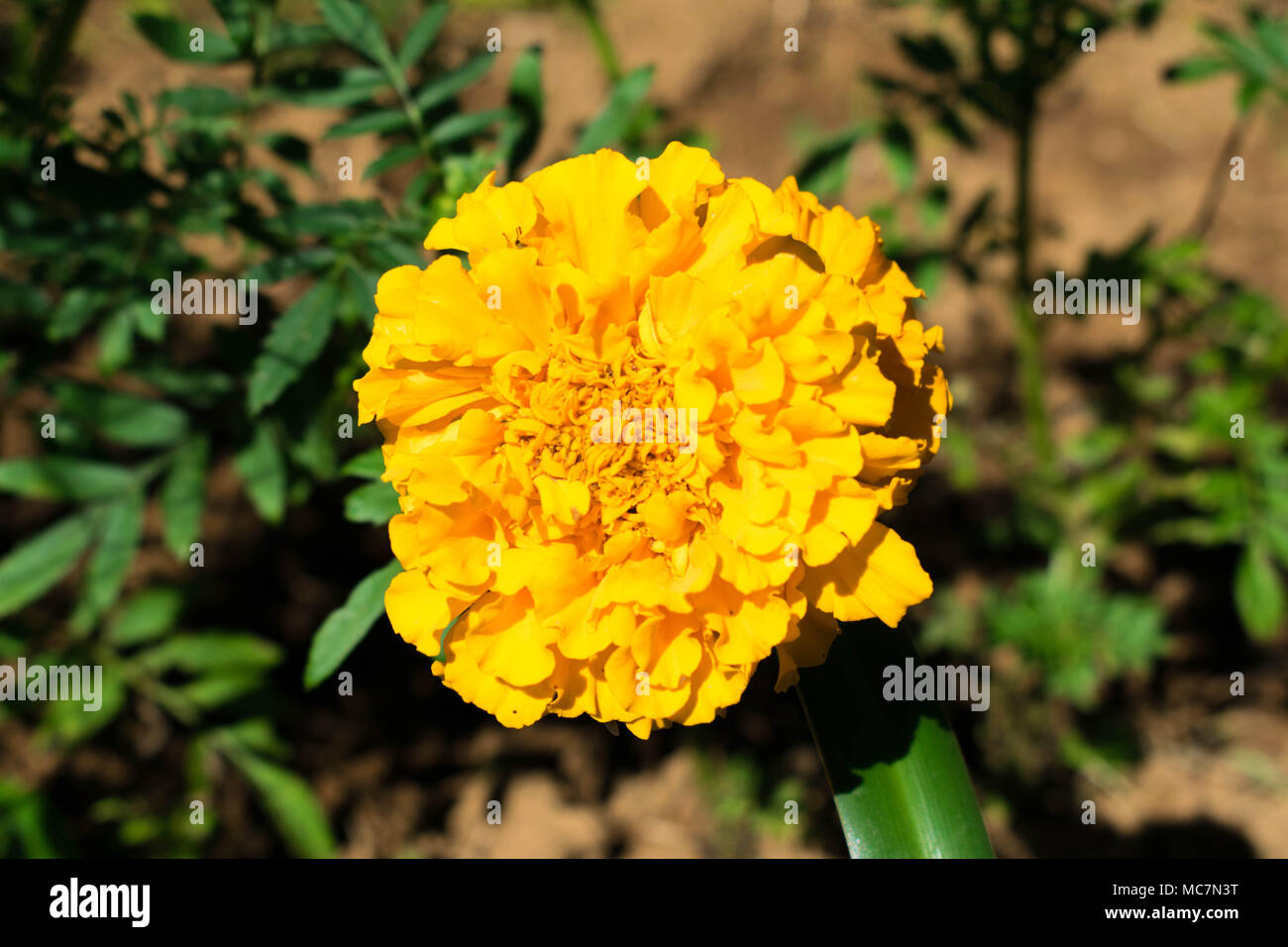 Yellow flower - Stock Image