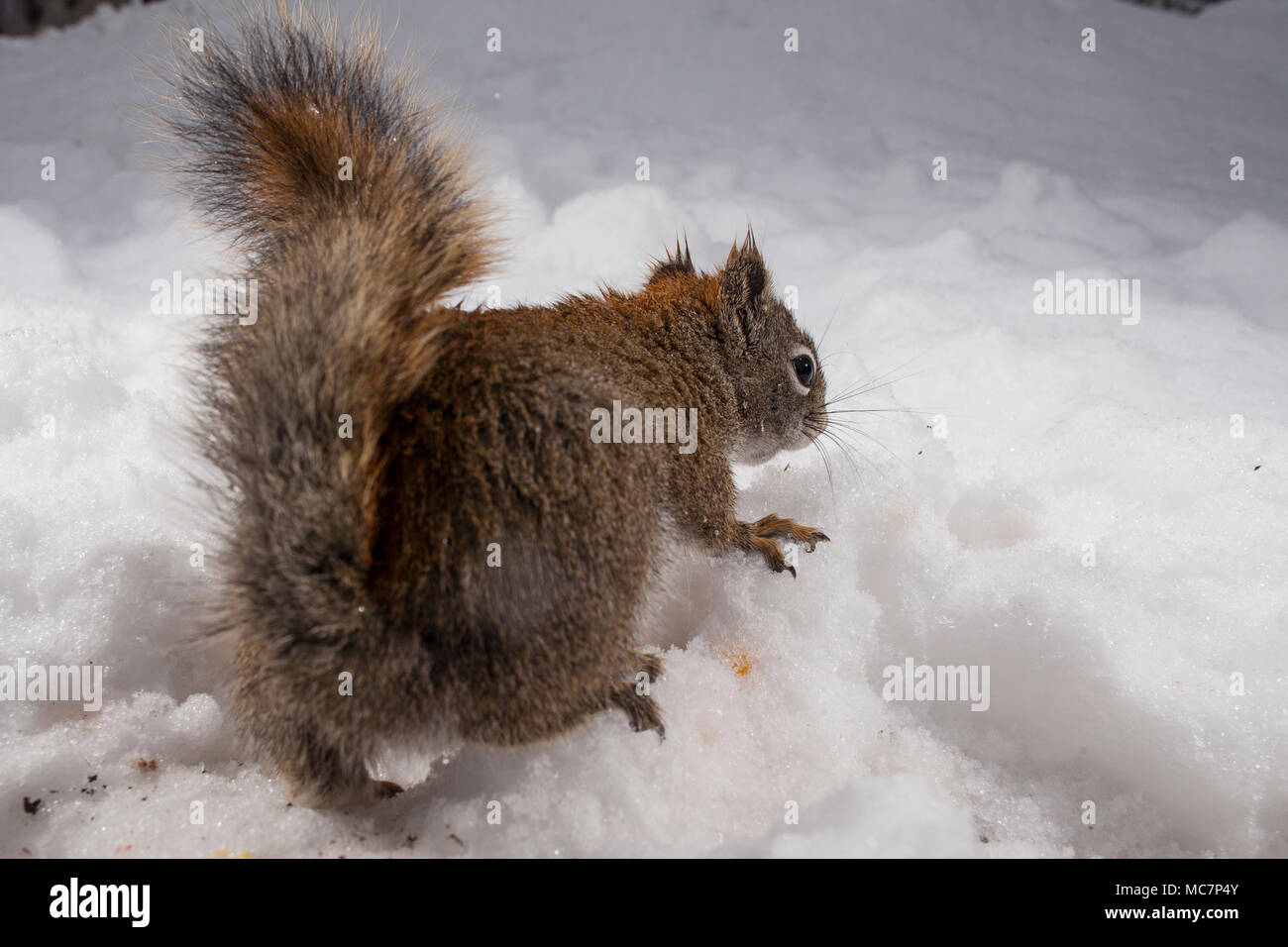 MAYNOOTH, ONTARIO, CANADA - April 12, 2018: A red squirrel (Tamiasciurus hudsonicus), part of the Sciuridae family forages for food.  ( Ryan Carter ) - Stock Image