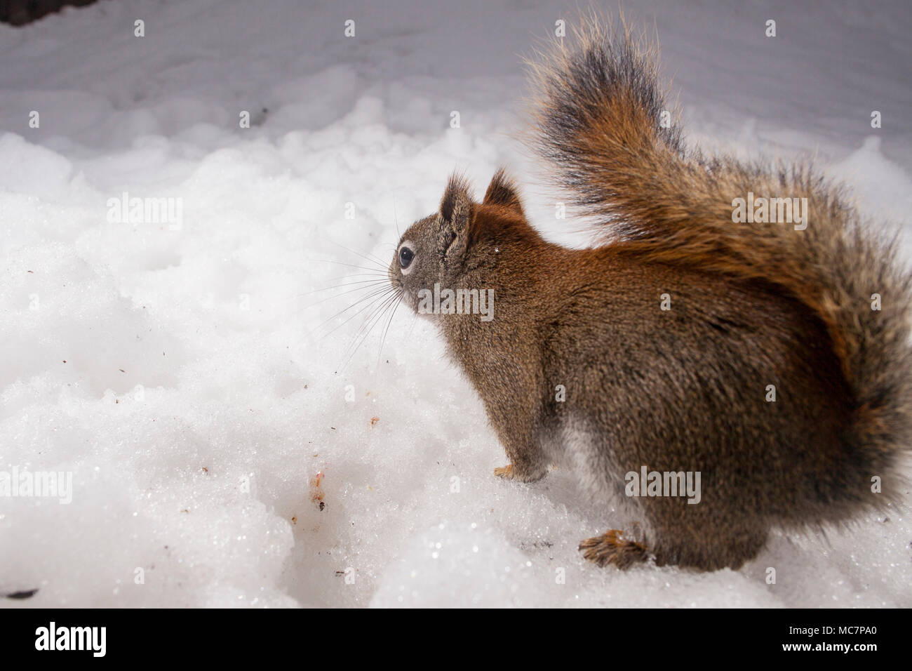 MAYNOOTH, ONTARIO, CANADA - April 13, 2018: A red squirrel (Tamiasciurus hudsonicus), part of the Sciuridae family forages for food.  ( Ryan Carter ) - Stock Image
