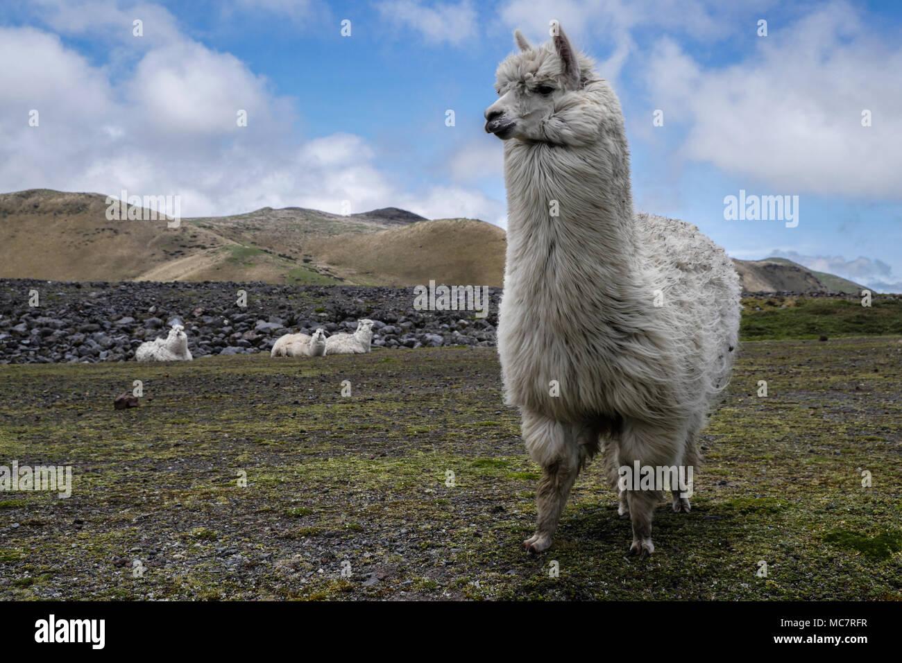 Alpachas on Antisana Mountain, Ecuador - Stock Image
