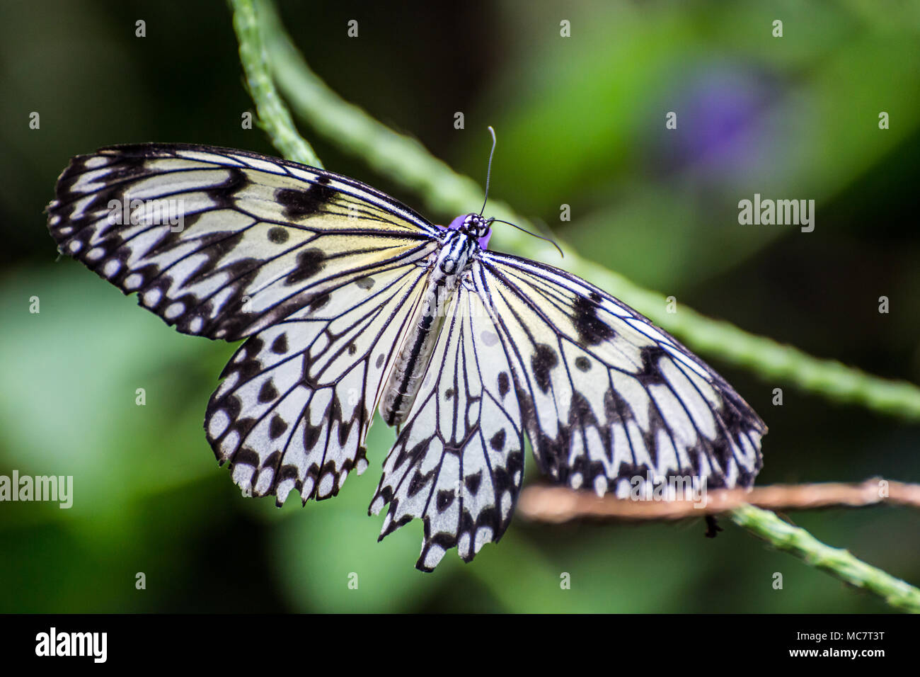 Paper Kite/Rice Paper/Large tree Nymph Butterfly ( Idea leuconoe) Stock Photo