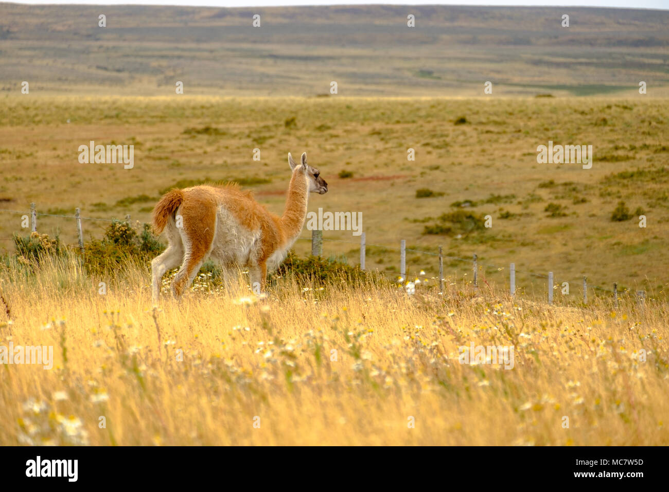 A guanaco moves through the Patagonian fields near Punta Arenas, Chile. - Stock Image