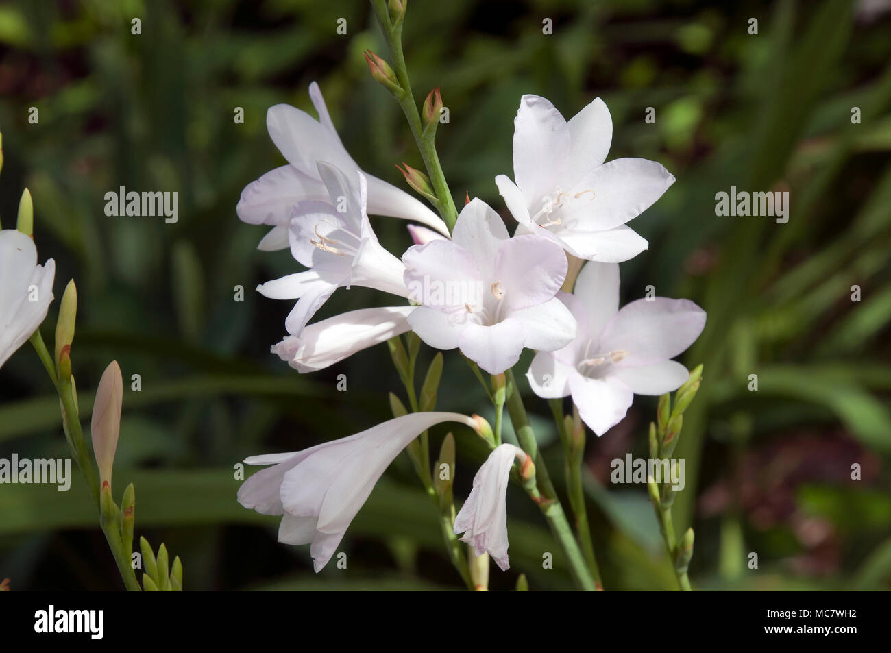 10 Bugle Lily High Resolution Stock Photography and Images   Alamy
