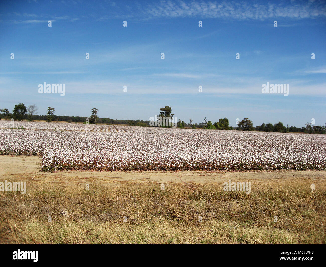 Cotton field in Mississippi - Stock Image