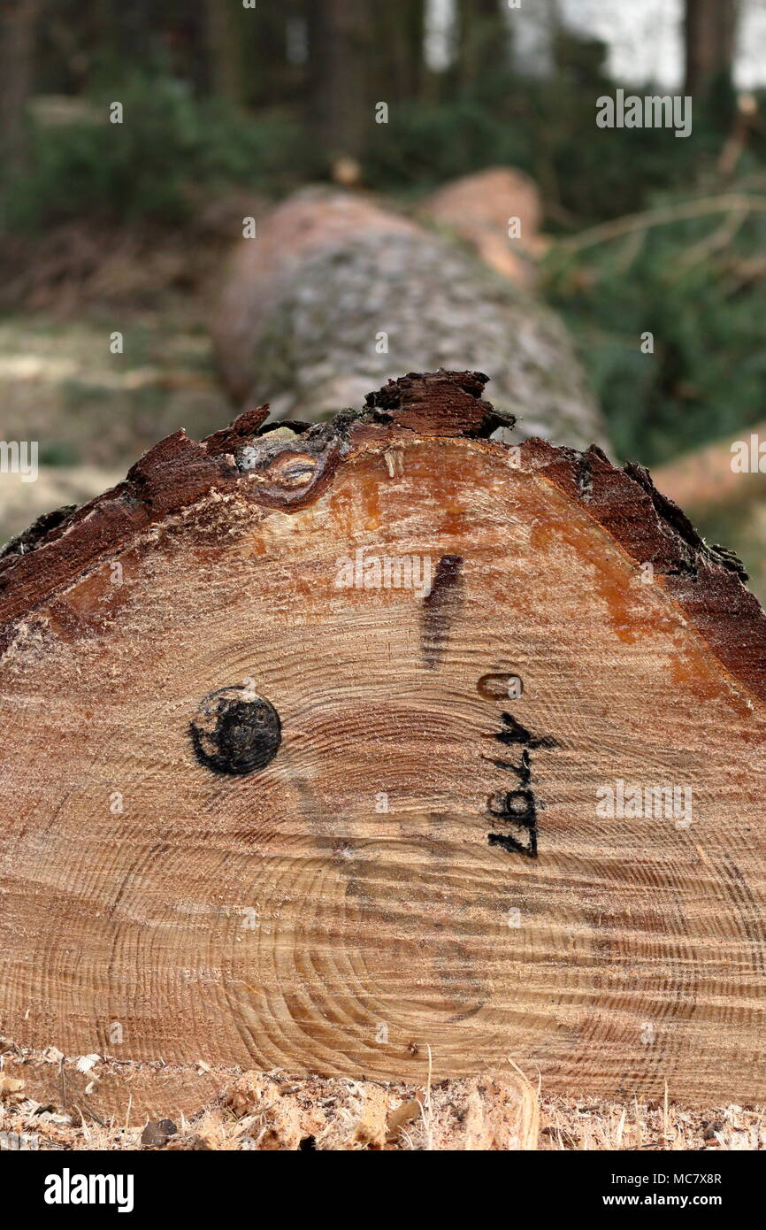 Newly cut down pine tree with an official stamp and a reference number on its trunk Stock Photo