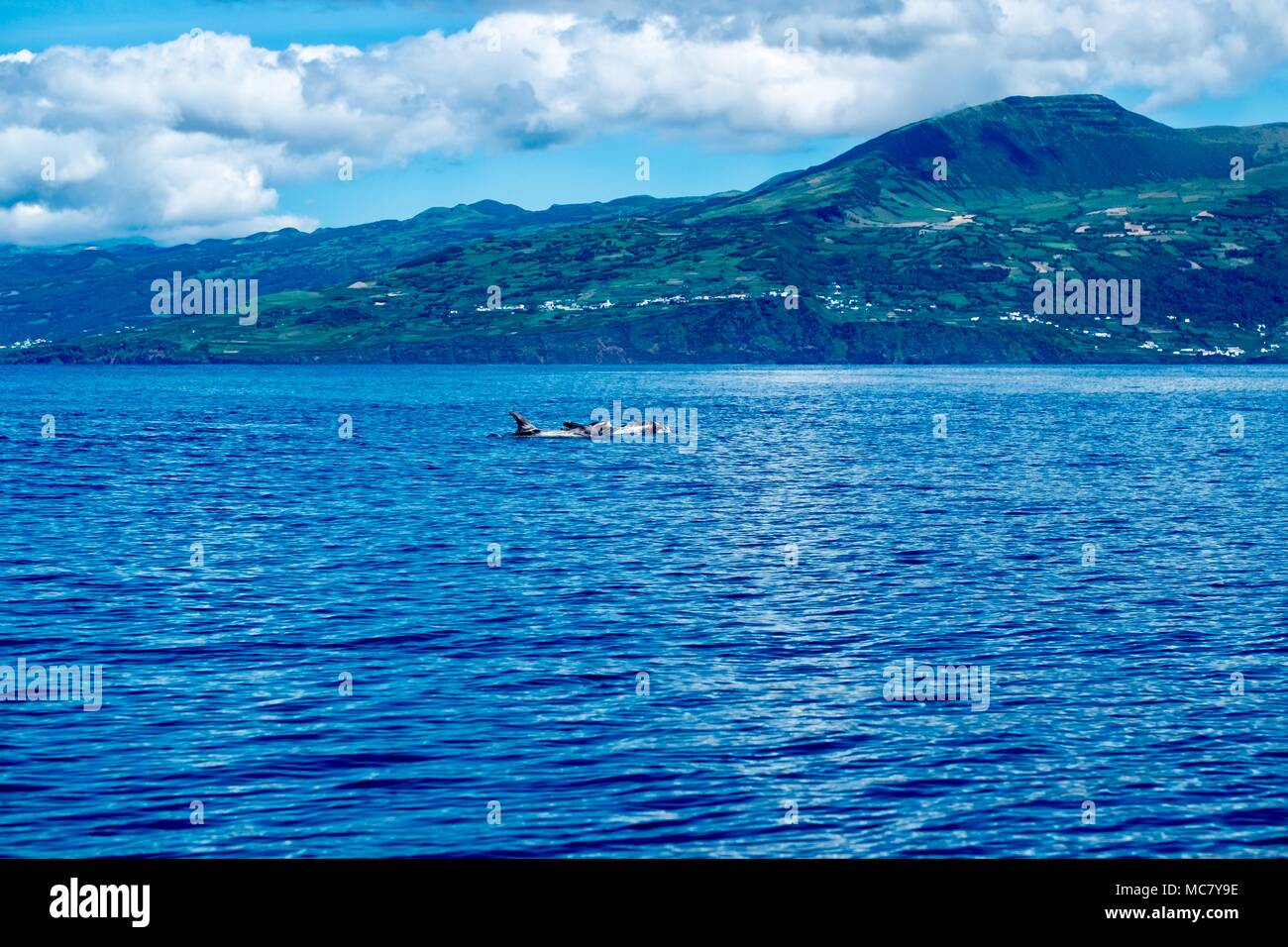 Risso's dolphins and Topo volcano at Pico Island - Stock Image