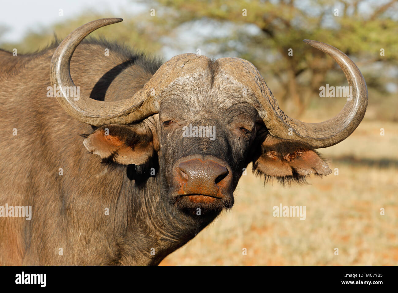 Portrait of an African or Cape buffalo (Syncerus caffer), Mokala National park, South Africa - Stock Image