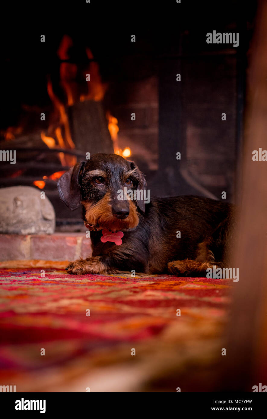 A wirehaired dachshund beside a fireplace keeping cosy. - Stock Image