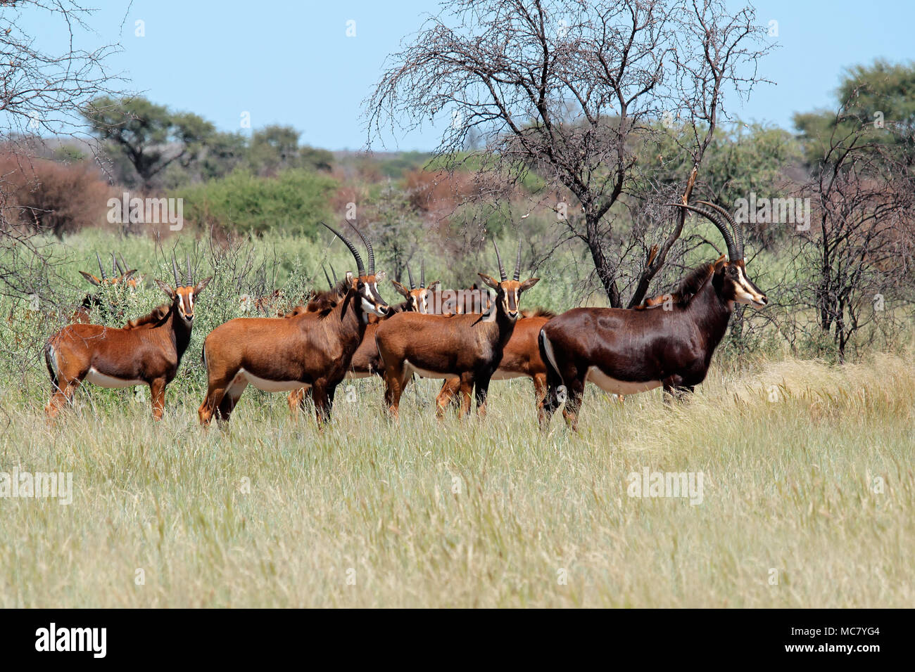 Small herd of sable antelopes (Hippotragus niger) in natural habitat, South Africa Stock Photo