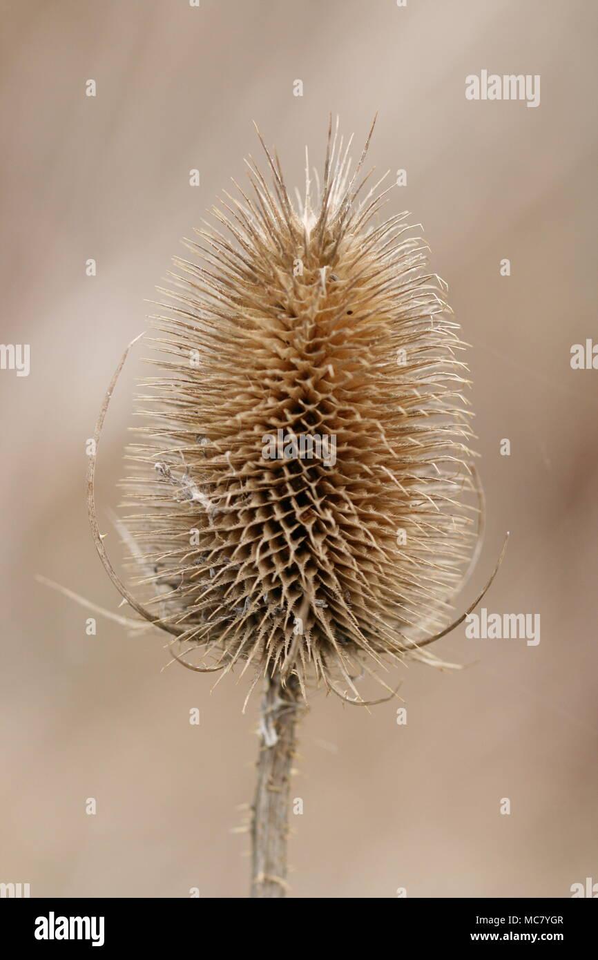 Dipsacus fullonum (Teasel) Seed Head - Stock Image