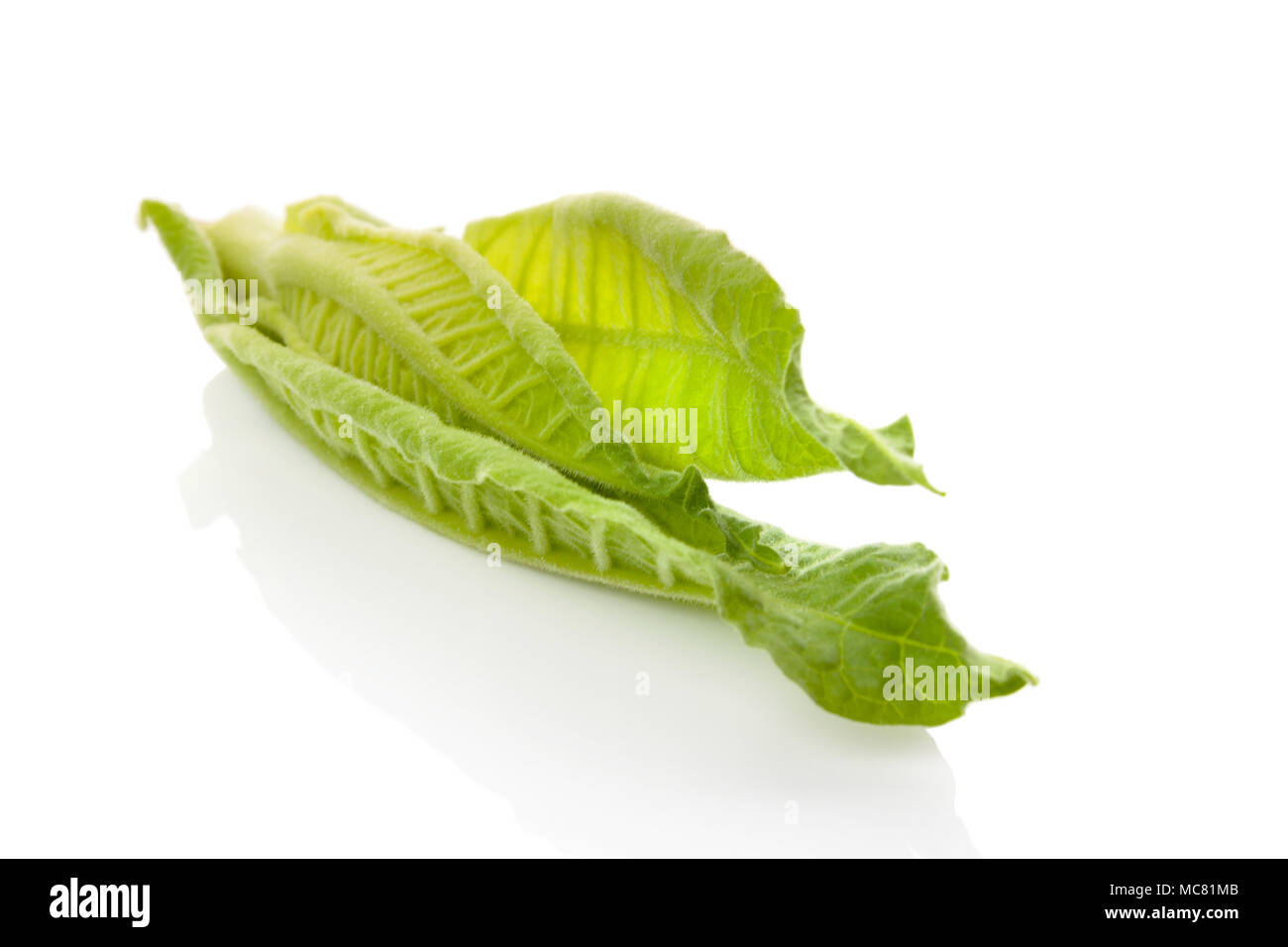Fresh green tobacco leaves isolated on white background. - Stock Image