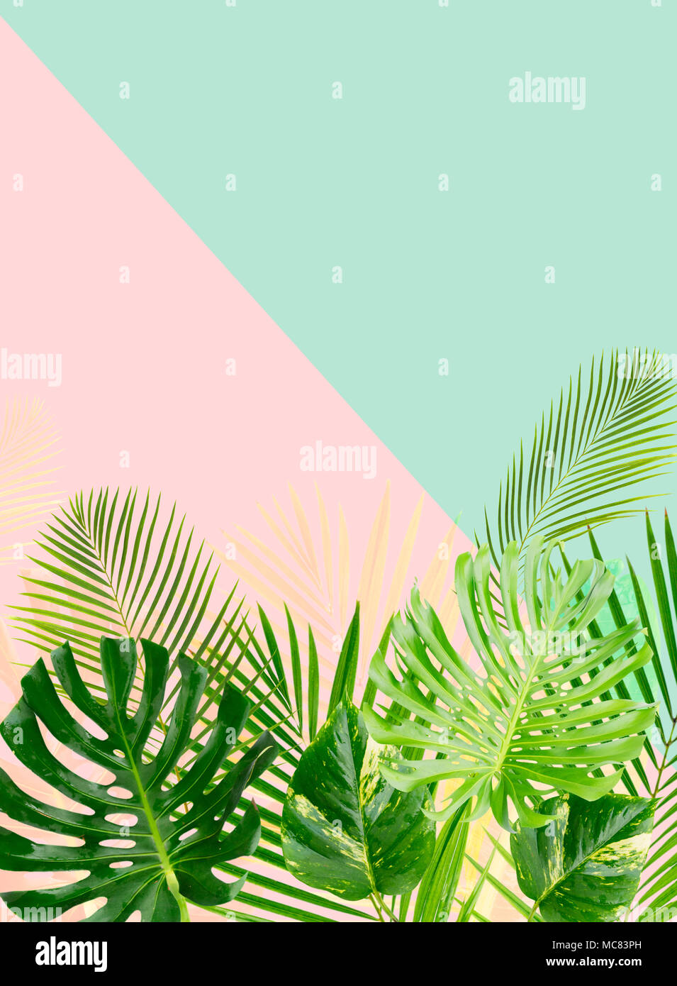 Tropical Green Leaves On Blue And Pink Background With Copy Space Stock Photo Alamy Coconut palm, monstera, fan palm, rhapis. https www alamy com tropical green leaves on blue and pink background with copy space image179658153 html