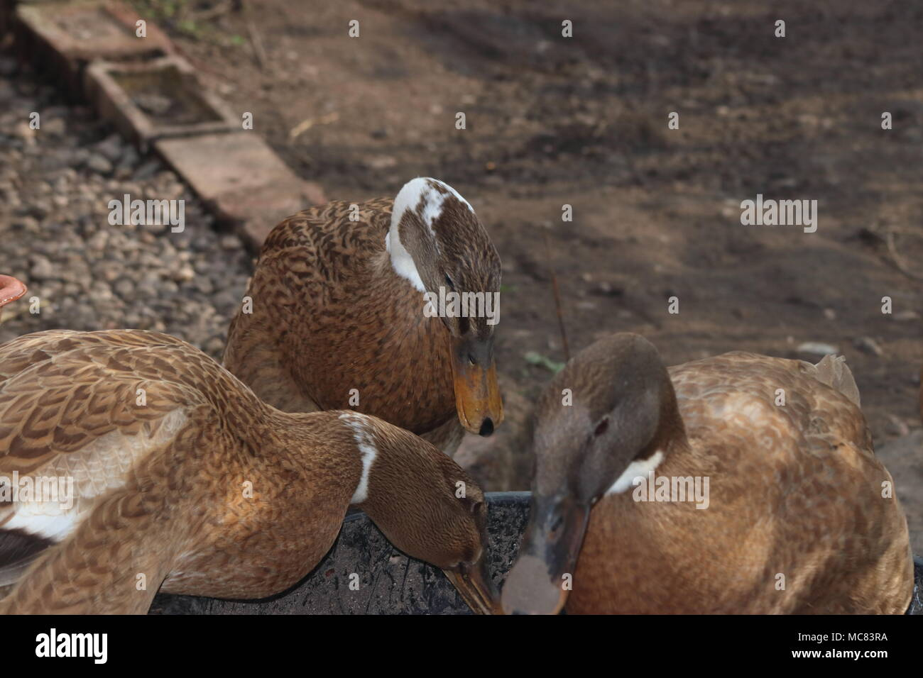 female indiian runner ducks eating food in garden Anas platyrhynchos domesticus - Stock Image
