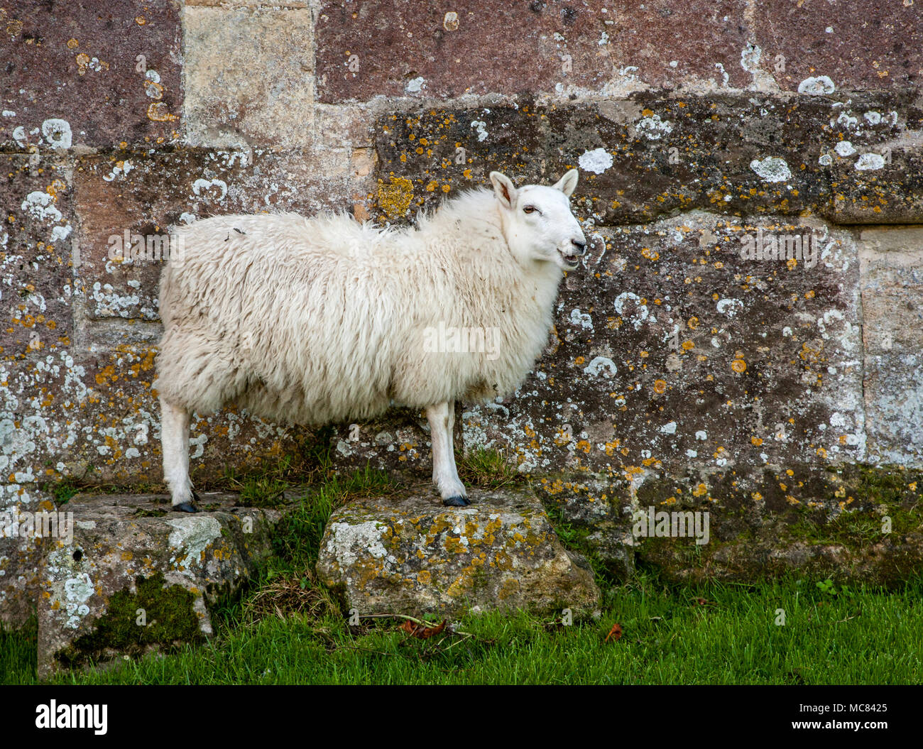 White faced sheep ewe posing on two stone blocks by a stone wall at Woodspring Priory in Somerset UK - Stock Image