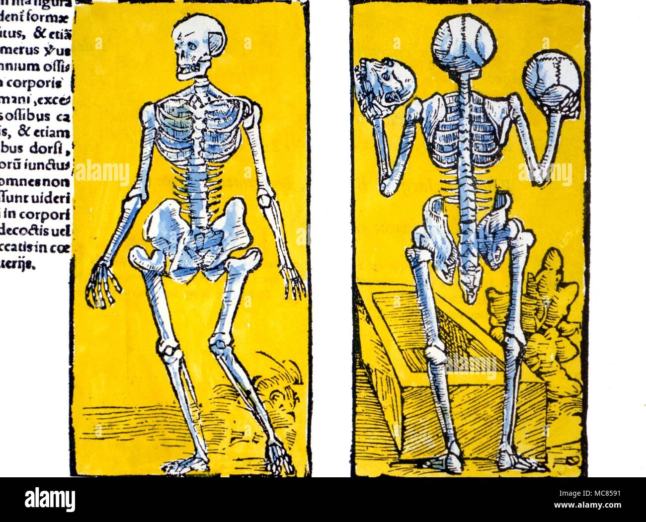 Death - skeletonf front and back views of the human skeleton, from the 130 (Strasbourg ) edition of Berengario da Carpi's Isagogae in Anstomiam Humani Corporis Stock Photo