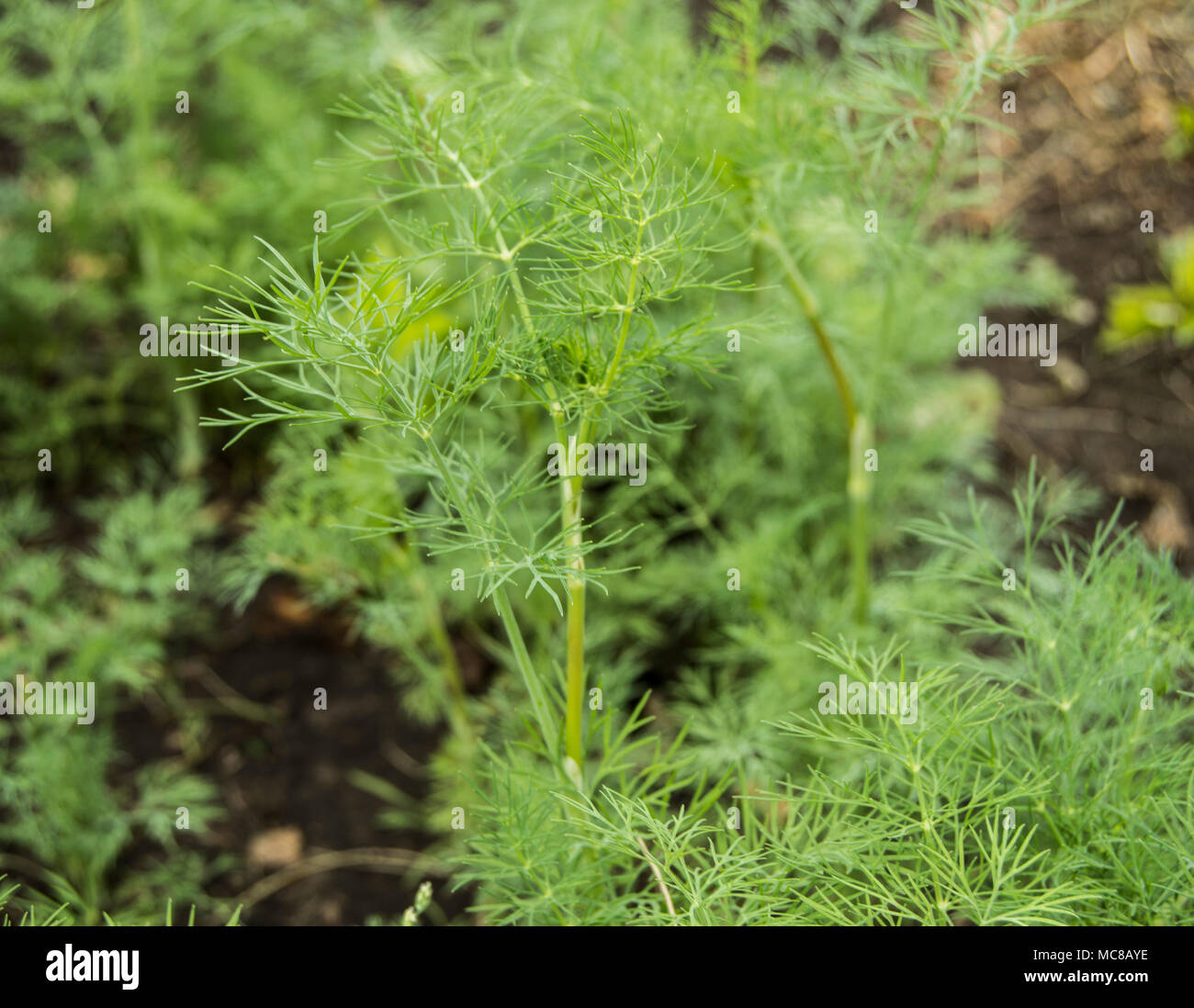 Fresh Young Green Dill Growing In The Garden, Selective Focus