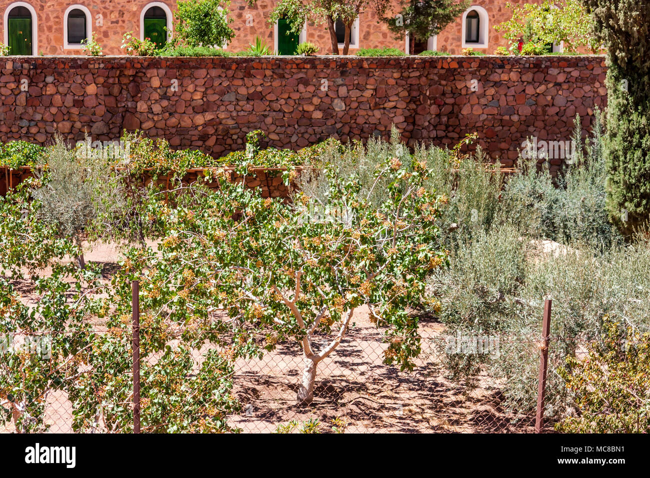 View of olive trees growing in the garden of Saint Catherine's Monastery in South Sinai, Egypt - Stock Image