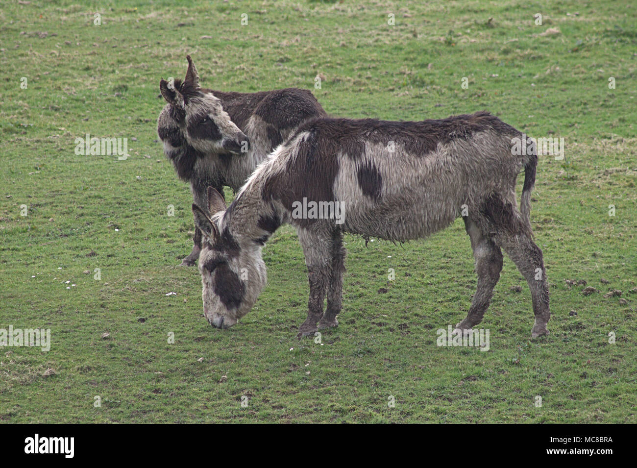 pair of rescue donkeys, Equus africanus asinus, out in the fields of the roaring donkey sancuary, west cork, ireland Stock Photo