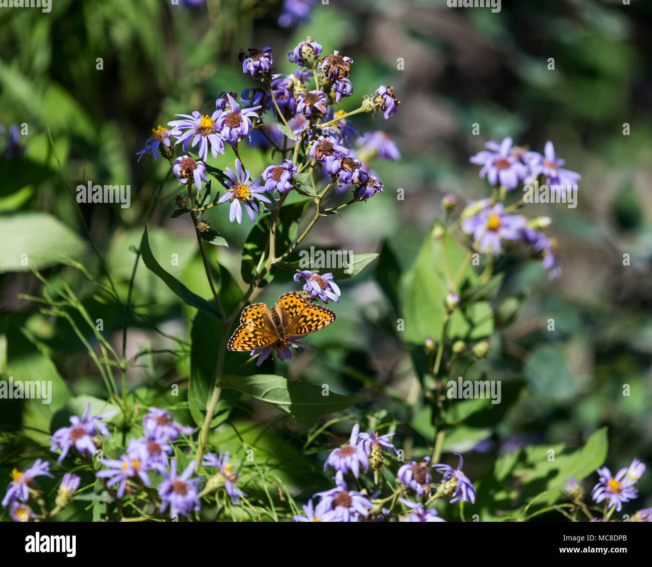 Brush footed butterfly on purple aster, Beaver Mines Lake Provincial Park, Alberta, Canada - Stock Image