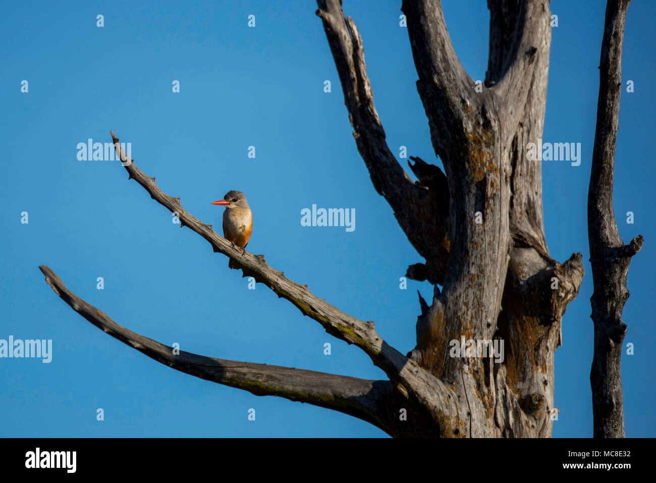 KINGFISHER (HALCYON SP.) PERCHED ON BRANCH, ZAMBIA - Stock Image