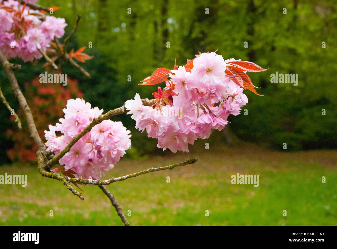 Pink Flowering Cherry Tree On An Old Flowering Cherry Tree In An