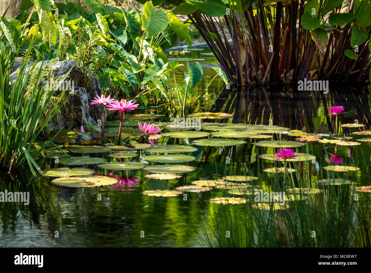Nymphaeaceae - water lilies in pond at Naples Botanical Gardens, Naples, Florida, USA - Stock Image