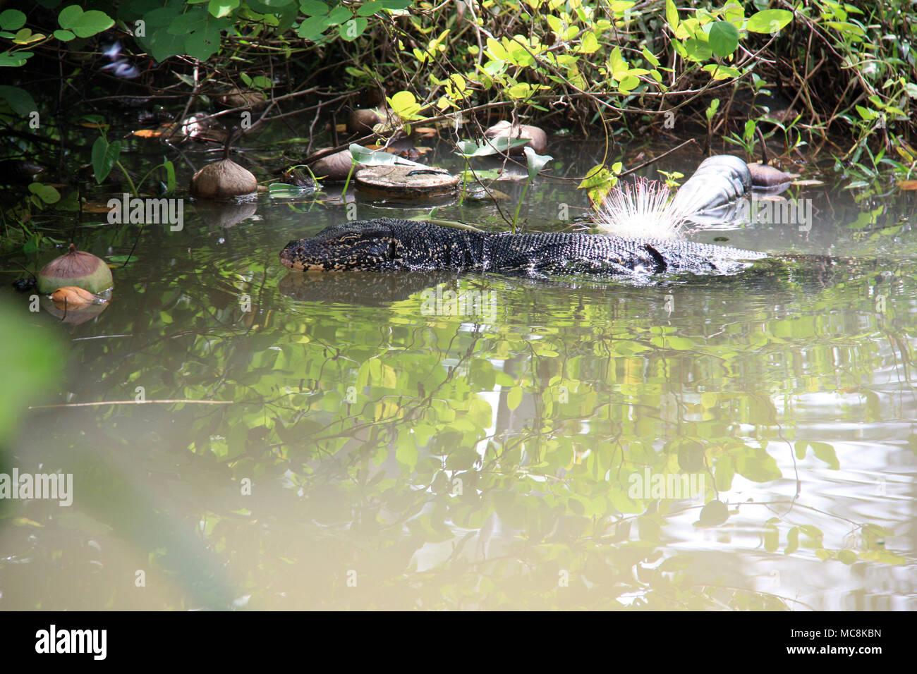 Huge Monitor Lizard swimming in a lagoon in Sri Lanka - Stock Image