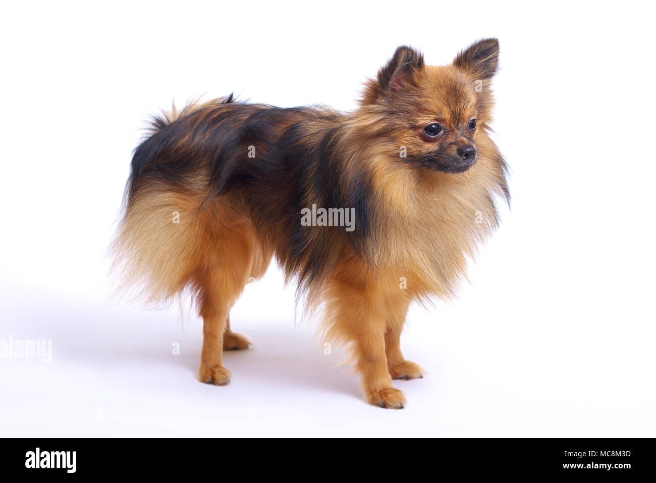 A Small Pomeranian Dog Stands In Profile On A White Background Stock