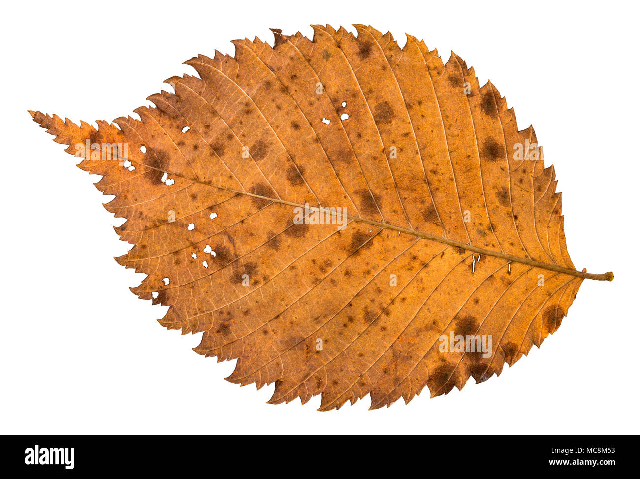back side of autumn decayed holey leaf of elm tree isolated on white background - Stock Image