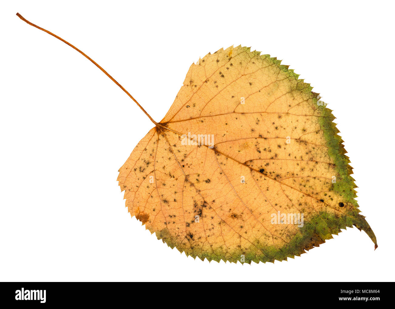 back side of fallen rotten leaf of linden tree isolated on white background Stock Photo