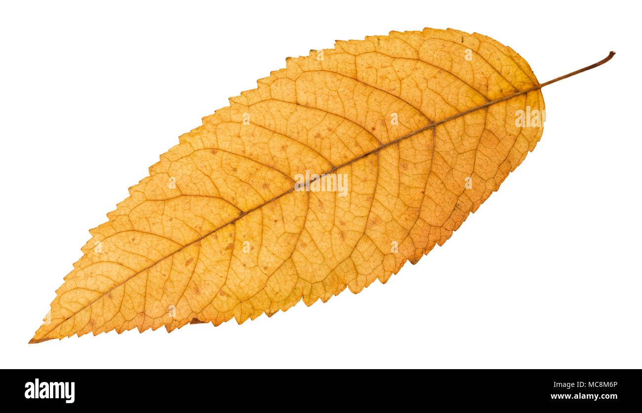 back side of fallen yellow leaf of ash tree isolated on white background Stock Photo