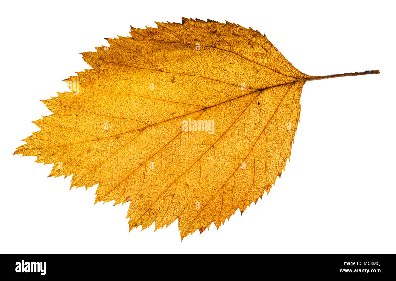 yellow fallen leaf of hawthorn tree isolated on white background Stock Photo