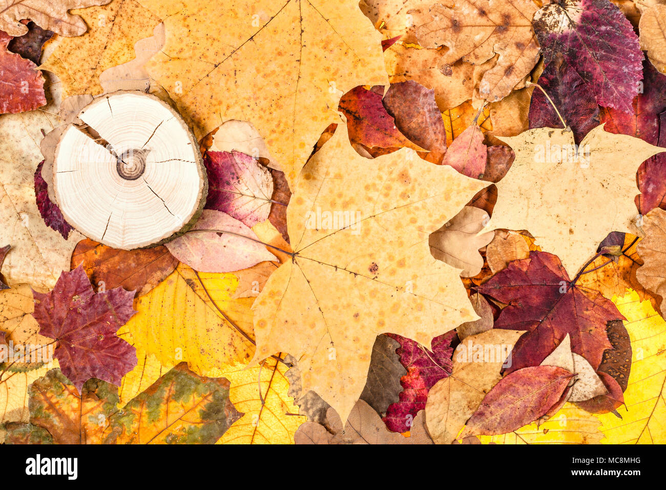 top view of varicoloured fallen autumn leaves and sawed wood - Stock Image