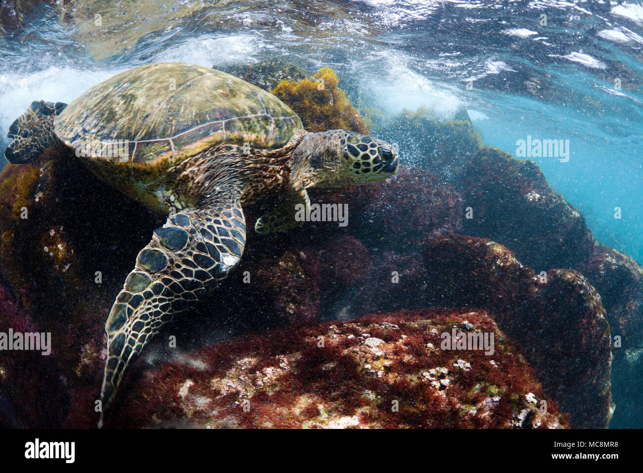 This green sea turtle, Chelonia mydas, an endangered species, is braving the rocky surge swept shallows for a bite of red seaweed off West Maui, Hawai Stock Photo