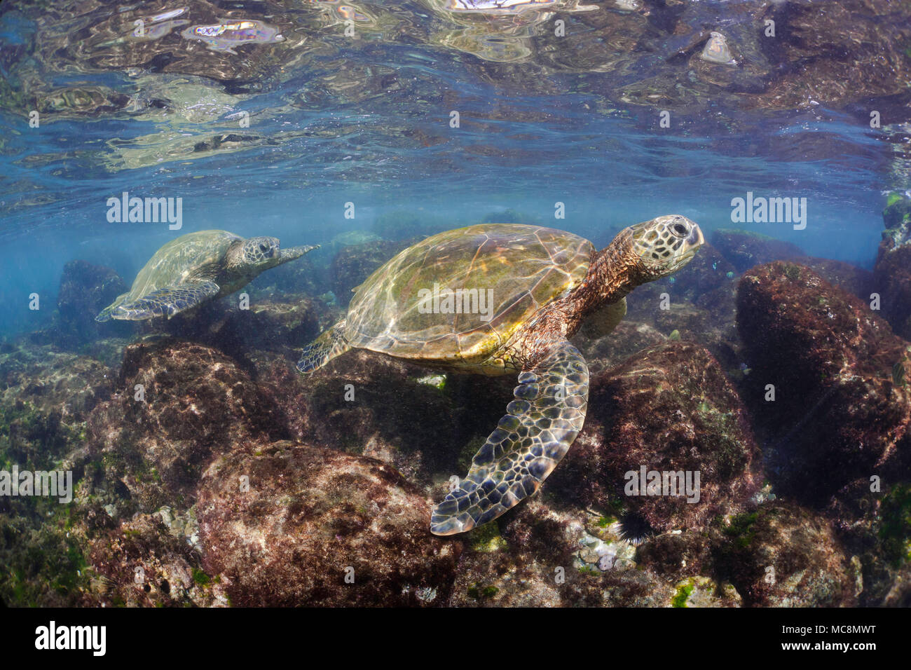 Green sea turtles, Chelonia mydas, an endangered species, search the shallows off Maui, Hawaii for algae to feed on. - Stock Image