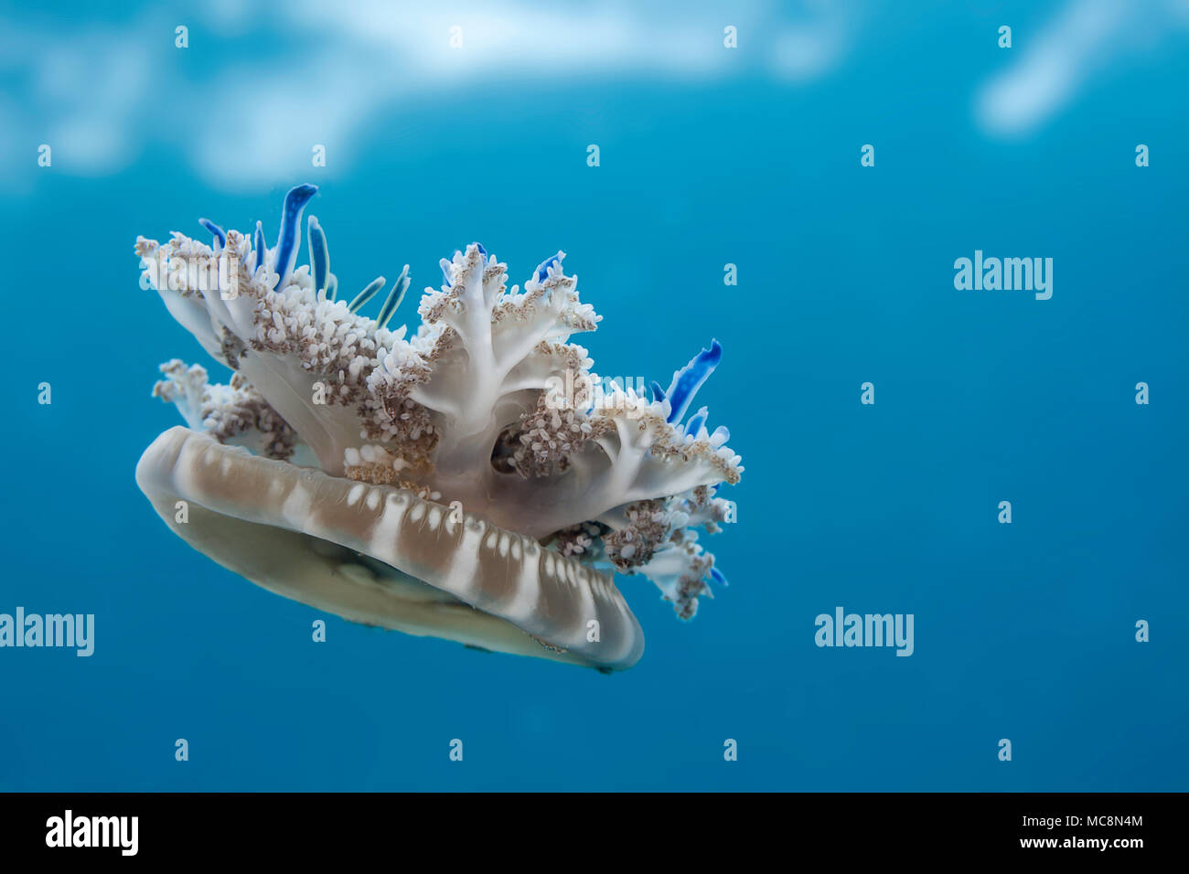 Imitating it's close relative the sea anemones, this Mangrove upsidedown jellyfish, Cassiopea xamachana, is frequently seen resting, bell down, tentac - Stock Image