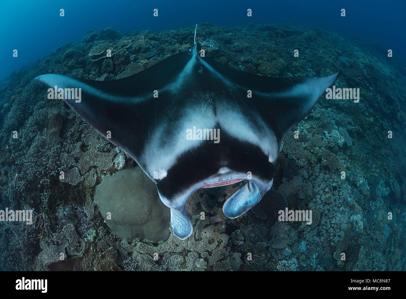 A manta ray, Manta alfredi, gets close to the reef to be inspected by a small cleaner wrasse, Fiji. - Stock Image